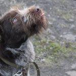 Дратхаар Дик ждет любящих хозяев в криворожском «Центре обращения с животными»