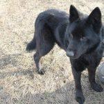 Криворожский Мухтар ждет новых хозяев в Центре обращения с животными