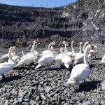 В криворожском карьере спасли 22 лебедей