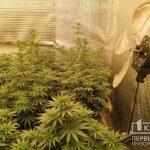 Криворожанин вырастил в домашней теплице марихуану на 1,5 миллиона гривен