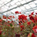 Ніжні азалії квітнуть у оранжереї криворізького ботсаду