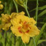В Криворізькому ботанічному саду квітнуть лілії